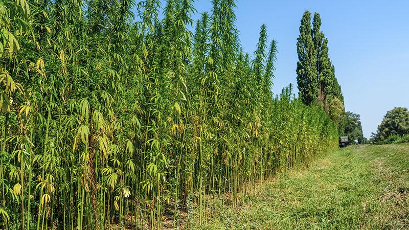 Odling av medicinsk cannabis. Foto: Shutterstock/TT
