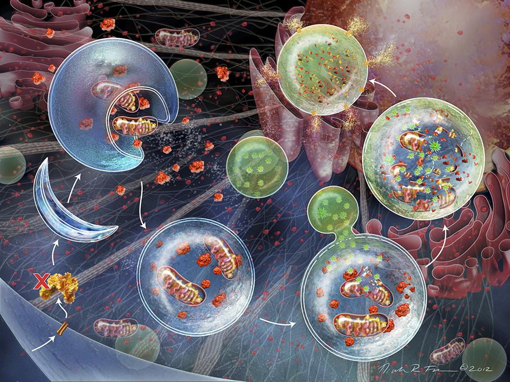 Illustration av autofagi. Cellmaterial, till exempel organeller, isoleras från cellen genom att inneslutas i membranomslutna blåsor som kallas autofagosomer. Autofagosomen smälter därefter samman med lysosomen som i sin tur innehåller enzymer som bryter ner organellerna till beståndsdelar som kan återvinnas. Illustration: Nicolle R Fuller/Science Photo Library/IBL