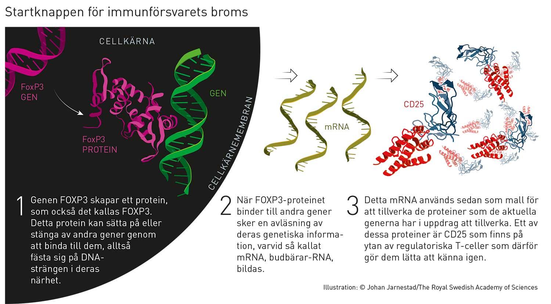Så verkar FOXP3-genen. Illustration: Johan Jarnestad/Kungliga vetenskapsakademien.